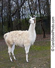 Llama - Adult male white Llama (Lama glama) full body
