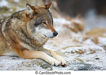 Adult male wolf rests in the forest in early winter