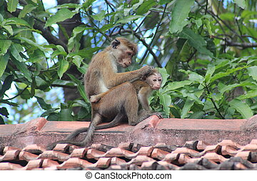 Adult monkey cleaning its baby