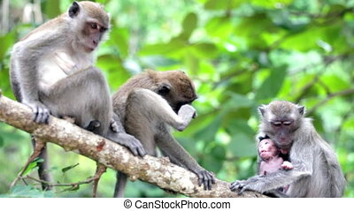 Adult monkeys with a cub sit on a branch of a tree and jump...
