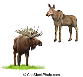 Adult moose with big horns and without, Isolated...