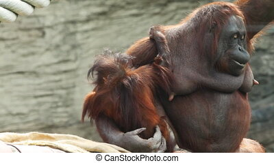adult mother orangutan sit on beams with child