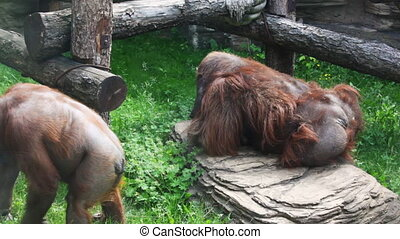 mother orangutan take on hands small child in zoo - adult...