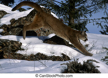 Adult mountain lion - An adult mountain lion jumping across ...