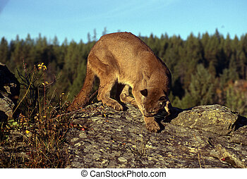 Adult mountain lion perched on a ridge.