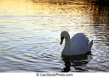 Adult Mute swan on a lake at sunset