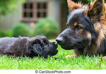 adult Old German Shepherd plays with a puppy