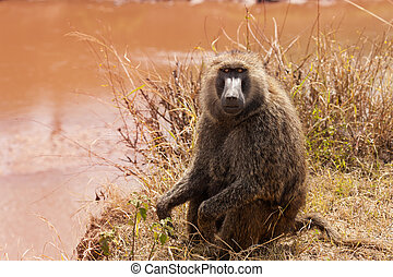 Adult Olive baboon foraging near the lake