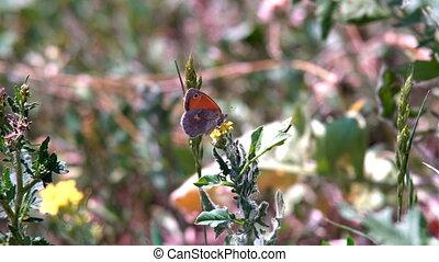 Adult orange butterflies on lavender flowers