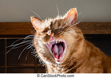 Adult orange cat with its mouth wide open; yellow teeth and tartar visible on the teeth, sign of dental problems