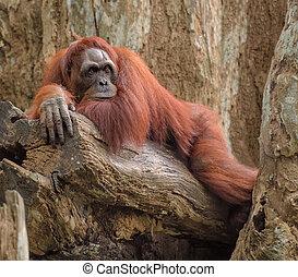 Adult orangutan lying deep in thoughts