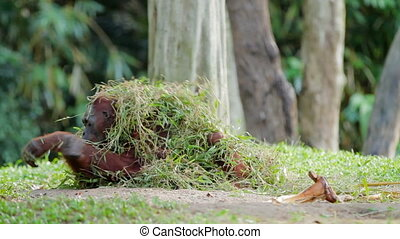 Adult orangutan (Rongo) sits under a bunch of grass and tree branches. Big monkey playing with wet grass after rain.