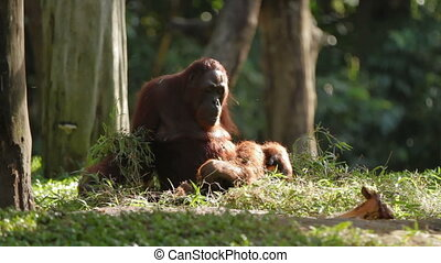 Adult orangutan Rongo sits under a bunch of grass and tree branches. Big monkey playing with wet grass after rain.