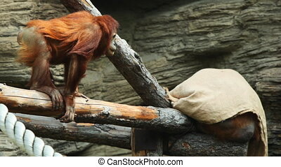 adult orangutan sits on beams and holds rope in zoo - adult...