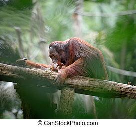 Adult orangutan sitting deep in thoughts