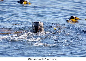 Adult otter surfaces in kelp bed with gunnel fish in mouth
