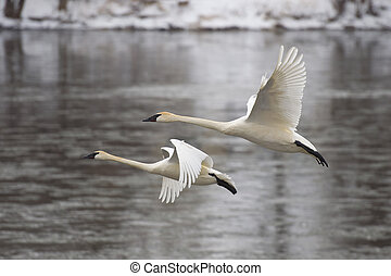 Adult pair of Trumpeter Swans flying over an icy river