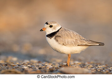 Adult Piping Plover Portrait - An endangered adult Piping...