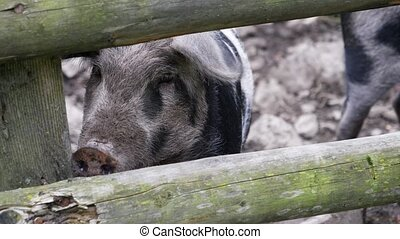 Adult porks moving around in their stable, outdoor in a...