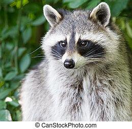 Adult raccoon portrait