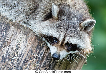Adult racoon on a tree
