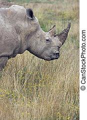 Adult Rhino Profile