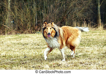 Rough Collie - adult Rough Collie walking in the park