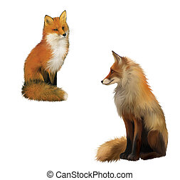 Adult shaggy red Fox sittng with big fluffy tail.  Isolated Illustration on white background.