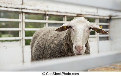 sheep stands alone in cattle truck