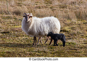 Adult sheep with black and white lamb