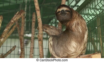 Adult Sloth sitting at Sanctuary Cage, Costa Rica - Close-up...