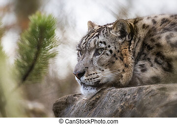 Adult snow leopard resting on a rock