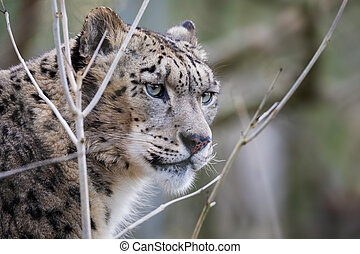 Adult snow leopard - Watchful and alert adult snow leopard ...