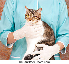 Adult tabby - The adult tabby in hands at the veterinarian