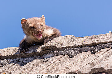 Adult ugly and injured marten goes over the roof -...