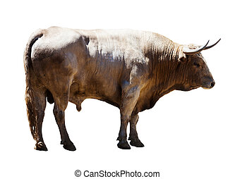 Adult white   bull, isolated over white background