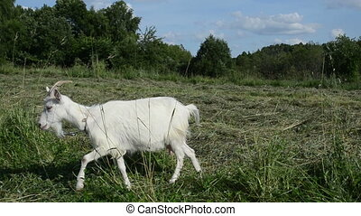 white goat - adult white goat tied with a rope to graze in...