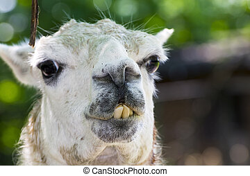 Adult white llama is ready to spit - Llama portrait, its ...