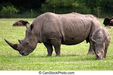 Adult white rhino with calf