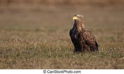 Adult white-tailed eagle, halitaeetus albicilla, sitting in natural environment. Wild raptor bird in the winter morning looking around.