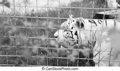 Adult white tiger - Large predatory animal