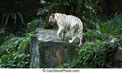 An adult white tiger walks restlessly through its territory. Video UltraHD 4k