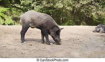 Adult wild boar. Stock footage
