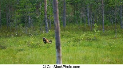 Adult wild wolverine walking free in the forest - Wild...