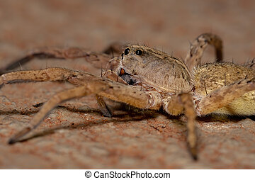 Wolf Spider of the Family Lycosidae