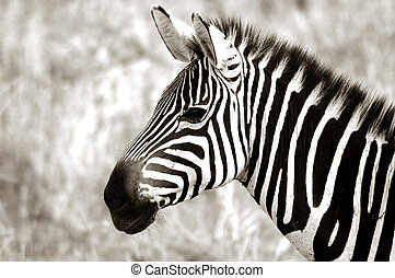 A profile of an adult zebra