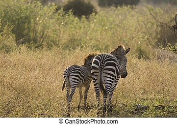 Adult zebra and their young walking