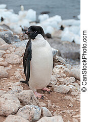 adulto, adele, pingüino, posición, en, playa