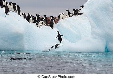 adulto, adele, pingüinos, agrupado, en, iceberg