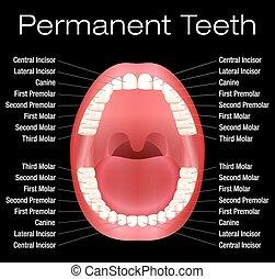 adulto, dientes, nombres